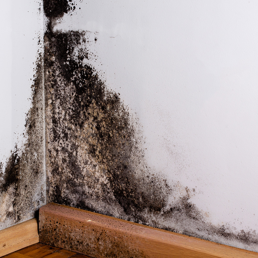 Black Mold: What Is It & How Does It Affect Your Home & Health?